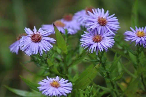 One of the few Asters that I now have.