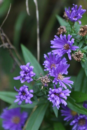 Another Aster in the side border by the field.