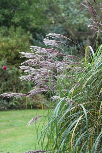 Flower plumes on Miscanthus sinensis Malepartus in the border round the dead oak.