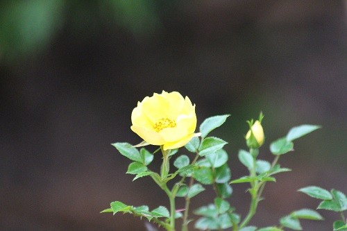 A little rose that was moved from the gravel area during the makeover.