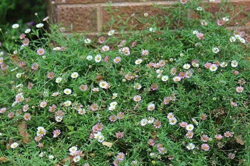 Erigeron karvinskianus loves living at the base of the house wall.