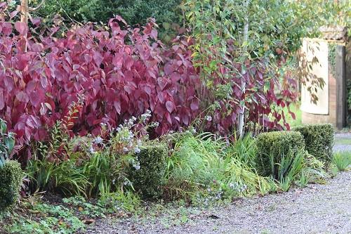 Cornus alba sibirica Westonbirt sporting its beautiful colours on the front drive.