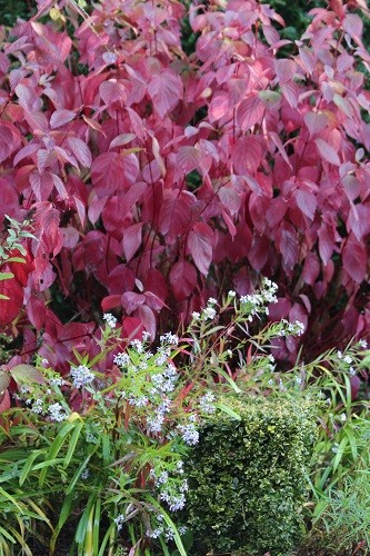 The leaves of the Cornus are the most amazing colour.