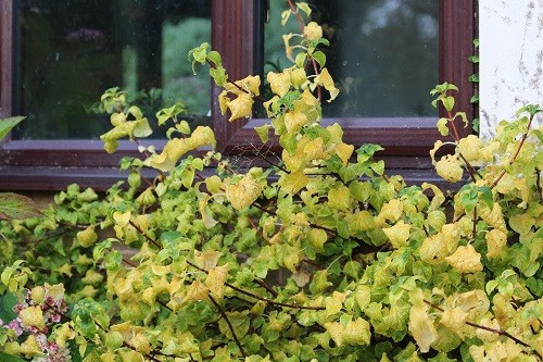 Under the kitchen window, Hydrangea petiolaris is changing from green to a lovely buttery yellow.
