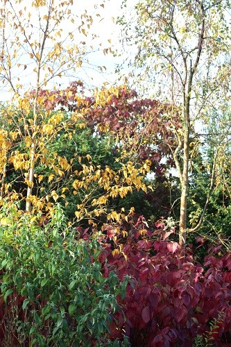 The golden leaves of Betula ermanii contrast nicely with the Cornus.