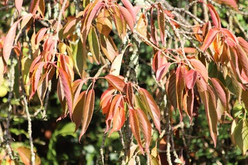 The prunus by the front drive is showing its autumn colour but the leaves are looking a bit dry without the usual rain.