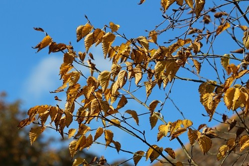 The golden leaves of a silver birch, what a wonderful blue the sky is!