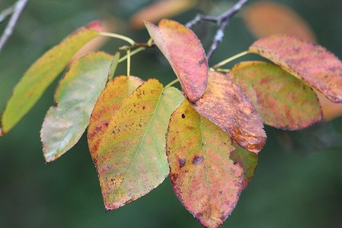 The leaves of the Amelanchier are dropping before they change colour, just a few have managed to change.