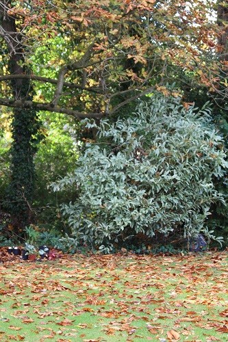 The torrential rain overnight brought down so many of the Horse chestnut leaves, someone will have to get sweeping!