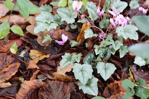 I'll finish with a few evergreens. When looking in the woodland, it was the cyclamen foliage that caught my eye.....