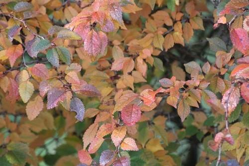 Prunus Kojo no mai looking very pretty in her autumn finery.