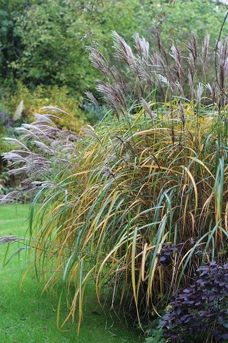 Leaves of the Miscanthus sinensis Malepartus are changing colour, soon it will be a golden fountain.
