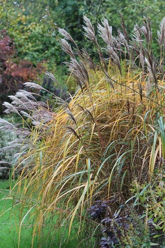 The leaves of the Miscanthus have now turned into a golden yellow fountain.