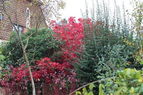 Next doors Acer is now growing over the wall behind my red stemmed Cornus. If I cut my Pyracantha on the right, back a bit, I would be able to see more of it!