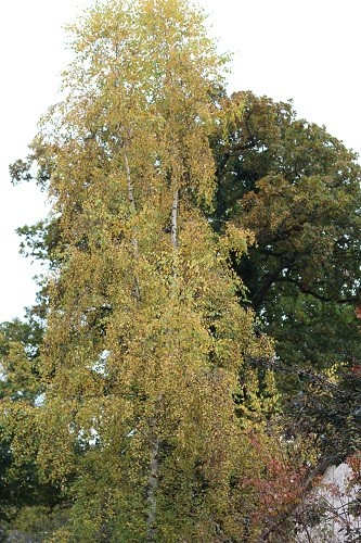The silver birch just outside the back door is now golden all over. This arrived as a seedling from out of nowhere and is now a huge tree where the birds congregate before coming down to the bird table.