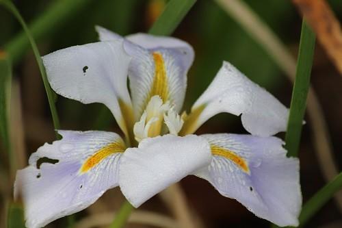 Iris unguicularis Walter Butt.