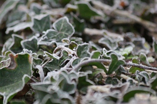 An icy edging to the ivy.