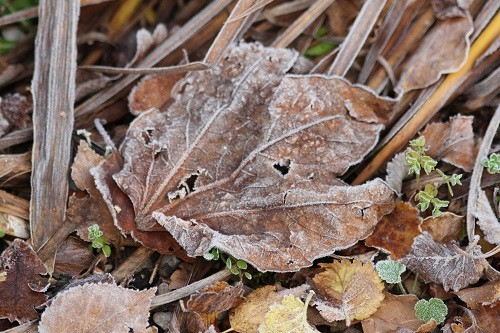 Fallen leaves have a sprinkling of frost.
