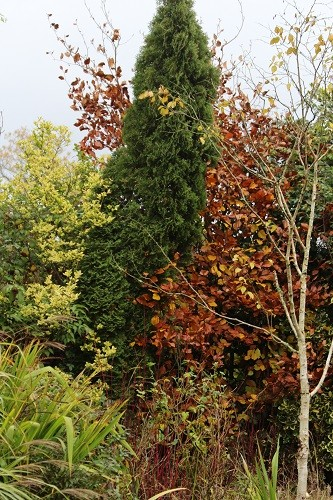 Another bit of beech contrasting with the conifer and yellow privet.