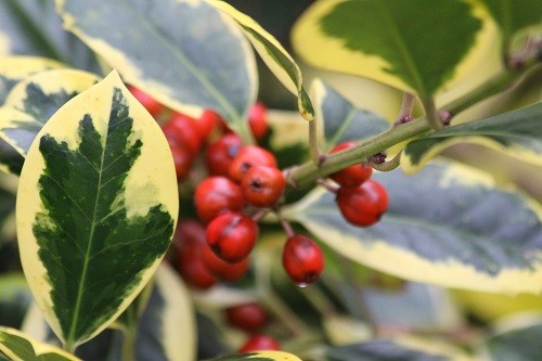 Ilex Golden King is looking very smart at the moment, sporting lots of berries.
