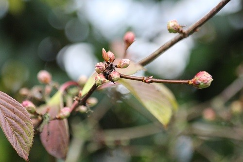 Not quite open, but another plant that will flower on and off all winter is Viburnum Bodnantense Dawn.