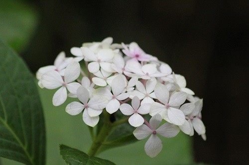 The odd new flower keep surprising me on the hydrangeas.