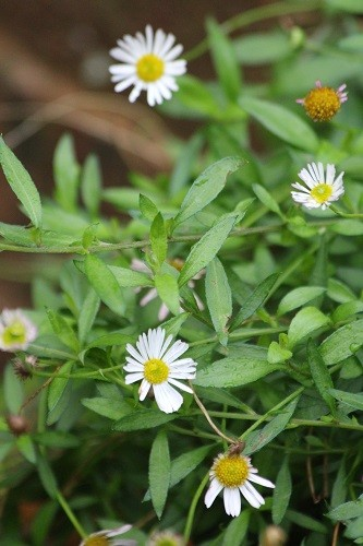Erigeron karvinskianus has almost finished flowering but not quite yet.