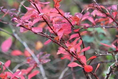 Another Berberis, this time Rose Glow.