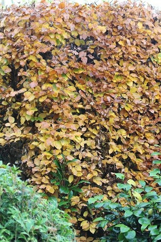 The leaves on the beech hedge will stay all winter until the new leaves in the spring push them away.