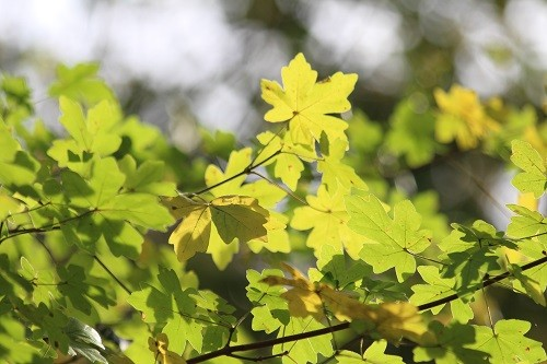 The local wild field Maple, Acer campestre, brightens up the woodland.