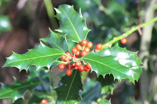 Also in the woodland is a wild holly bush which is covered in berries for this winter. The leaves are so shiny in the sunshine filtering through.