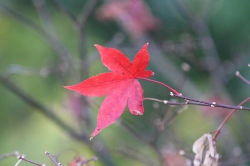 The last leaf on the Acer Osakazuki !