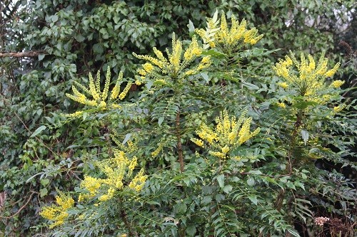 Mahonia Charity by the dead oak.