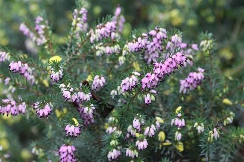 Winter flowering heather by the dead oak.