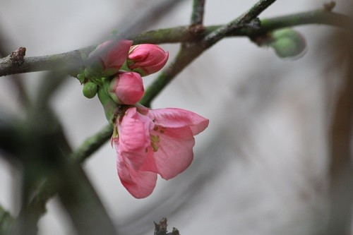 Chaenomeles by the back door.
