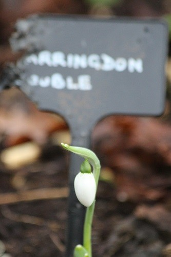 Snowdrop Farringdon double, but who has been chewing my label?