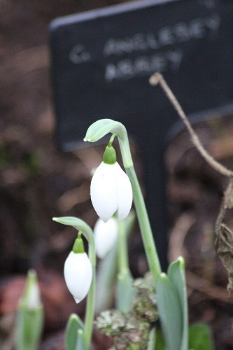 Snowdrop Anglesey Abbey, this is an all white one, no inner markings.