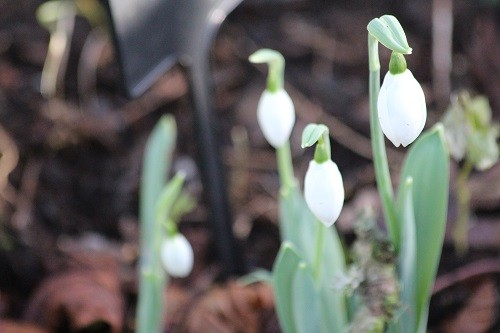 Snowdrops in the woodland.