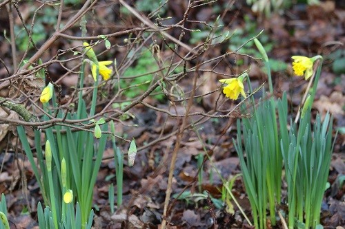 I will wait until the narcissus die down after flowering before digging the Daphne out.