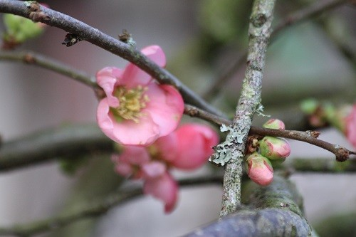 Lots more flowers are now opening on the Chaenomeles by the back door.