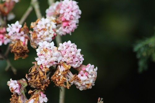 Viburnum Dawn is still flowering by the field but you can see that some of the flowers have been caught by the frost.