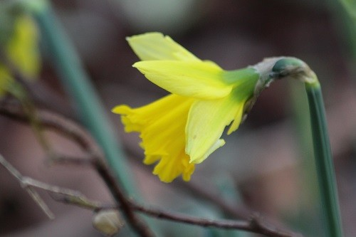 Narcissus Rijnveld's Early Sensation didn't look too happy after a very frosty night, but looks happier now.
