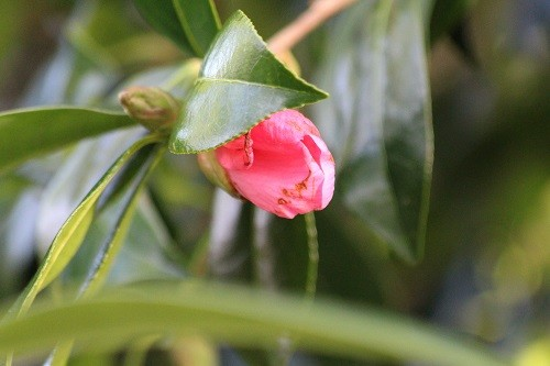 At last, the Camellia in the corner of the garden by the old svhool is starting to open its flower buds. Usually in Flower from November, it is taking its time this year. I can't say I blame it, yesterday it was being battered by the arctic north wind!