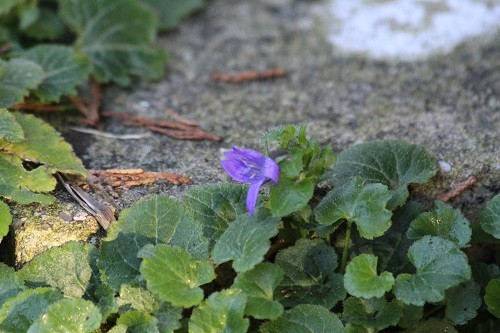 I found a tiny Devon violet growing in the steps onto the back lawn.