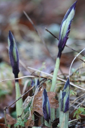 I'm sure there was no sign of Iris reticulata Pauline the other day when I walked past the alpine scree, they seem to have popped up overnight!