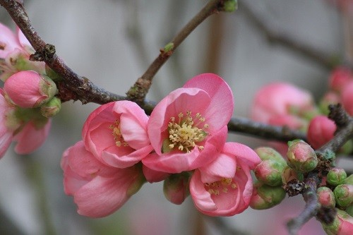 Chaenomeles by the back door with more buds opening each day.