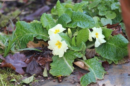 More primroses are opening all the time.