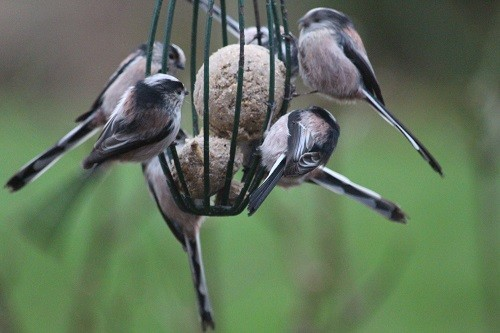 7 Long Tailed Tits!