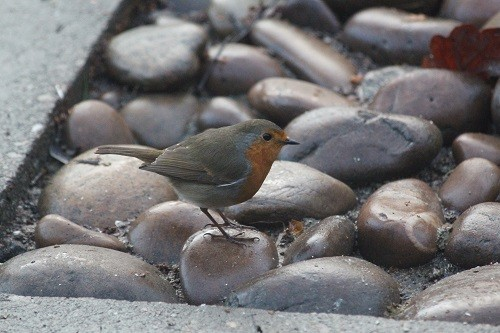 Robin, which feeds on the ground as well as from the seed feeder.