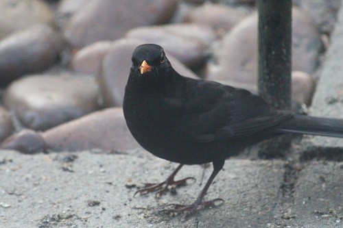 Blackbird. We had 7 blackbirds, 3 male and 4 female. This one was trying to chase all the others away.